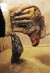 An Andean baby condor chick nuzzles up to a latex puppet at the Buenos Aires' Zoo