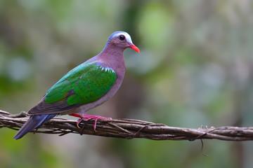Common Emerald Dove bird