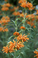 Lion's Tail  with orange flowers blooming