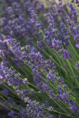 Lavender plants growing in a field
