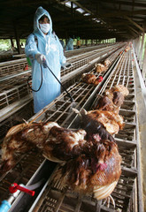 A THAI HEALTH OFFICIAL DISINFECTS CHICKENS ON A FARM IN AYUTTHAYA IN THAILAND.