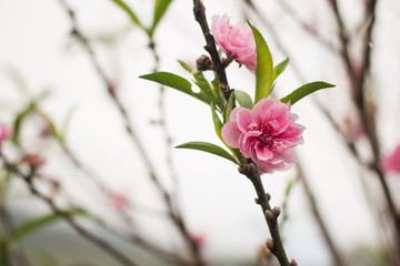 Peach blossoms. Spring. Blooming natural background.