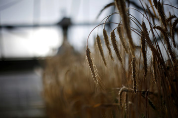 Wheat  grows at greenhouse of wheat breeding program at Nebraska university in Lincoln