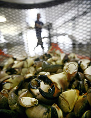 Worker prepares stone crab claws to be cooked at a factory in Marathon in the Florida Keys