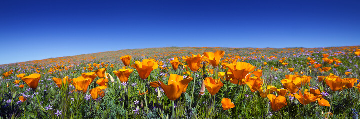Wild California Poppies at Antelope Valley California Poppy Reserve Wall mural