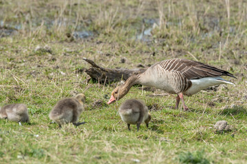 Mother with young geese