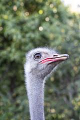 Common ostrich. Struthio camelus. Portrait. Close up