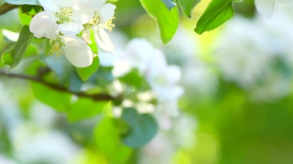 Affisch - Apple spring blossom closeup. Beautiful nature scene with blooming organic apple tree