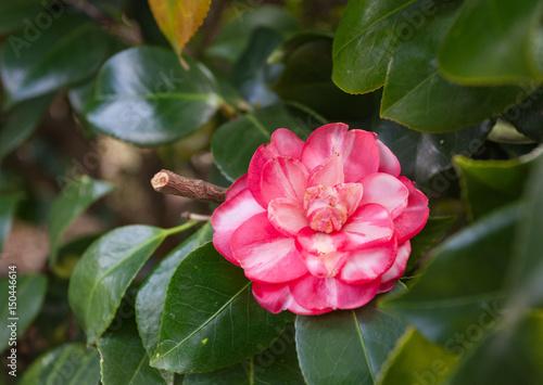 Цветок дендрарий