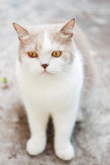 Cute gray scottish fold cat looking around. Animal portrait.