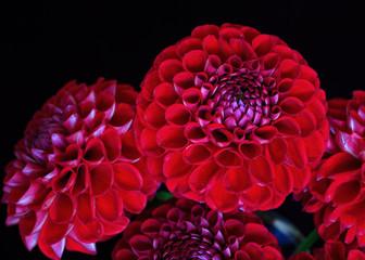 A bunch of red garden dahlias on black.