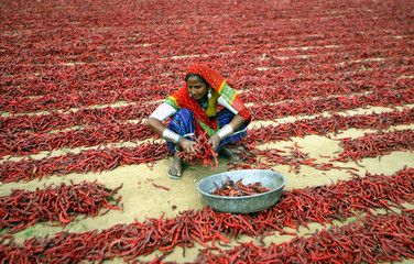 Indian woman dries red chillies at farm on outskirts of Ahmedabad