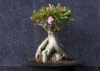 Bush of Desert Rose; Impala Lily; Mock Azalea Beautiful impala lily flower pot blooming in the park