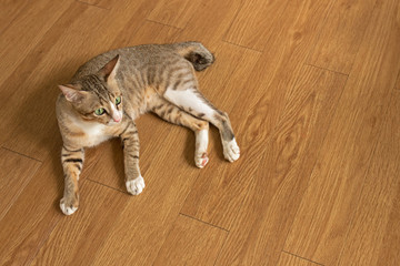Cat lay down on Parquet