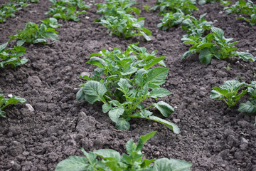 Green field of potato crops