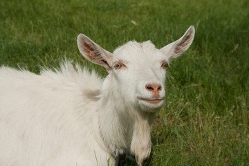 White goat lies in the green grass