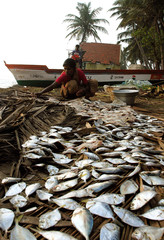Indian tsunami survivor collects fishes on a beach in Cuddalore