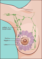 vector illustration of a woman breast anatomy