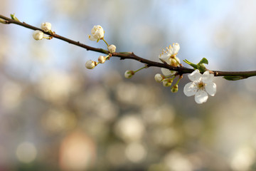 beautiful spring beginning/ blurry branch with blossoming fruit tree flowers against the sky