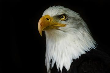 Fototapete - Proud american bald eagle ((Haliaeetus albicilla)