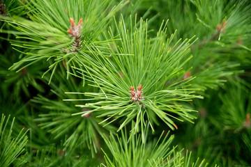 Pine needles, evergreen tree outdoor