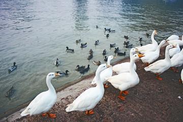 Beautiful Pekin ducks pack