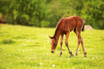Young foal of a dark brown color is grazed on a green field against a background of a young forest in the rays of the setting sun