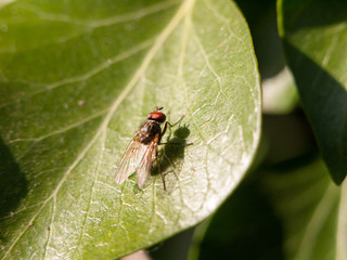 medium size fly with big red eyes resting on a leaf not moving motionless outside in late afternoon spring insect