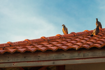 Pigeon on the pattern roof.