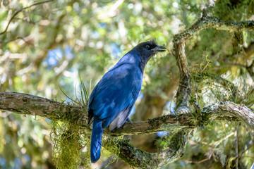 Azure Jay or Gralha Azul bird (Cyanocorax caeruleus) in Itaimbezinho Canyon at Aparados da Serra National Park - Cambara do Sul, Rio Grande do Sul, Brazil