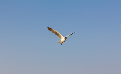 one seagull fly on sky at Thailand