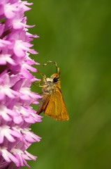 Lulworth Skipper butterfly - Thymelicus acteon - pollinating Pyramidal Orchid - Anacamptis pyramidalis
