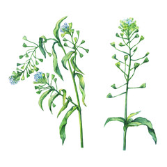 Shepherd's purse (Capsella bursa-pastoris), flowering plant with white small flowers. Hand drawn watercolor painting on white background.