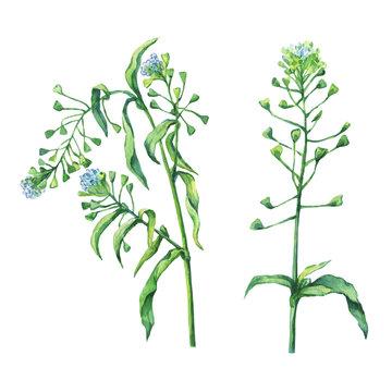 Shepherd's purse (Capsella bursa-pastoris), flowering plant with white small flowers. Hand drawn watercolor painting on white background.