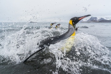 South Georgia Island, Salisbury Plains. King penguins emerge from water onto beach. Credit as Josh Anon / Jaynes Gallery / DanitaDelimont.com