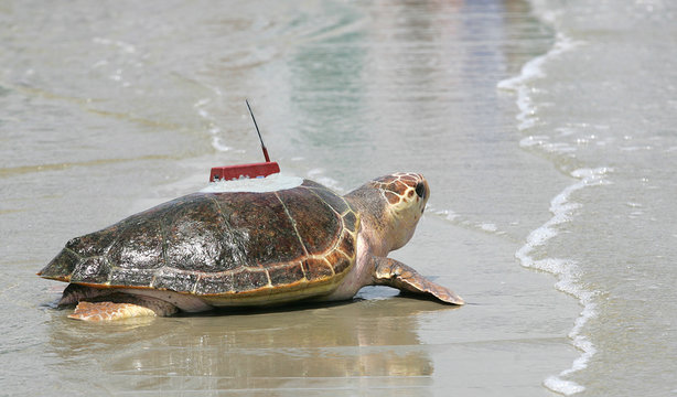 A loggerhead sea turtle named Golden Boy returns to the sea with a satellite telemetry transmitter on Jekyll Island