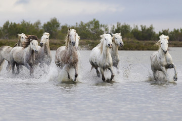 France, The Camargue, Saintes-Maries-de-la-Mer, Camargue horses. A group of Camargue horses running through swampy water.