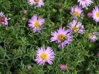 Aster alpinus or alpine aster many pink flowers in green