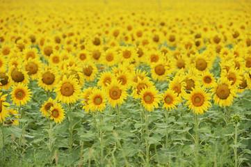 Common Sunflower, Helianthus annuus, field in bloom, Texas, USA