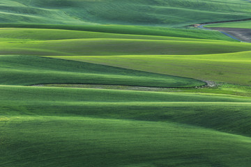 Elevated view of undulating wheat crop, Palouse region of eastern Washington State.