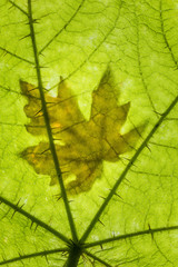 USA, Washington State, Seabeck. Big leaf maple leaf on devil's club leaf. Credit as: Don Paulson / Jaynes Gallery / DanitaDelimont.com (Large format sizes available)