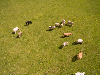 aerial view of cows on green pasture in spring - germany