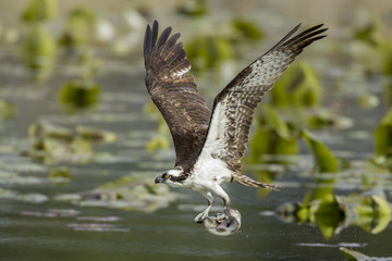 Osprey has fish in claws.
