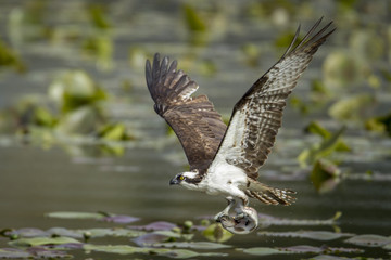 Osprey catches fish in claws.