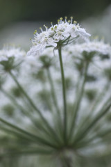 USA, Wyoming. Detail of blooming Cow parsnip (Heracleum lanatum). Bridger National Forest, Wyoming.