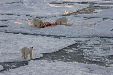 Norway, Svalbard, Spitsbergen. Polar bears feed on seal at sunrise. Credit as: Josh Anon / Jaynes Gallery / DanitaDelimont.com