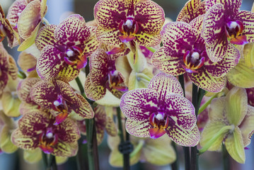 Speckled peach orchids