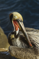 Brown Pelican preening on the Rocks of La Jolla Cove