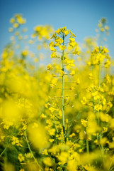Beautiful background with yellow flowers field rapeseed in bloom. Agriculture background photo.
