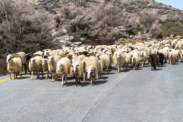 A flock of sheep on the road in the mountains of Crete